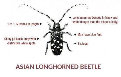 beetle asian longhorned.png