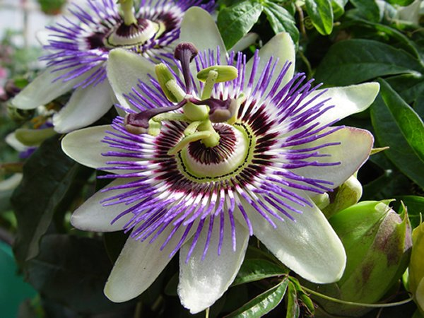 20-Beautiful-Flowers-Ever-Found-In-The-World-Passion-Flower.jpg