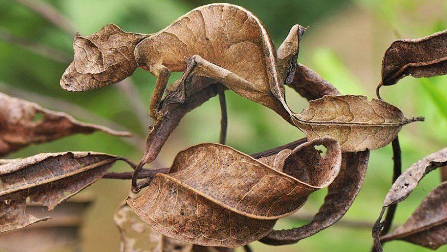 leaf-tailed-gecko.jpg