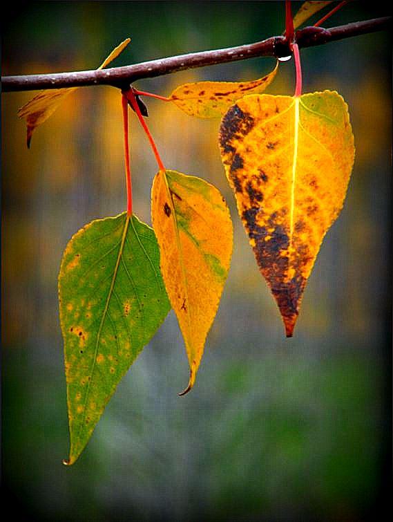 three-leaves.jpg