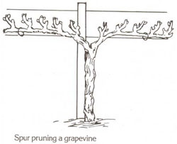 AWHN - Cross - Grapevine.jpg