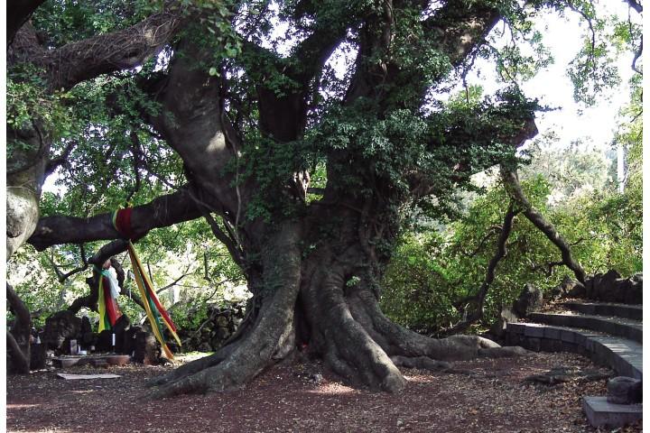 village-guardian-deity-tree_Encyclopedia-of-Korean-Folk-Culture-copy.jpg