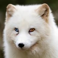Foxic